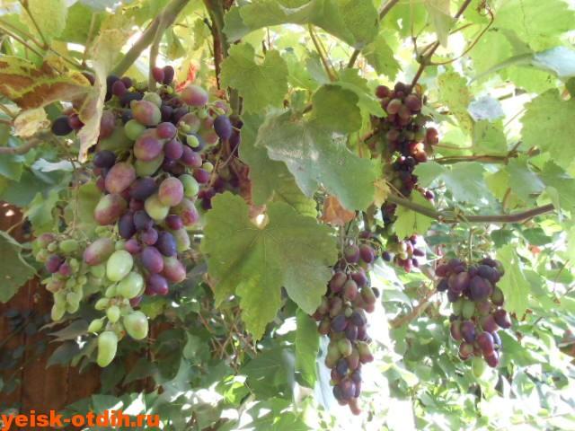 виноград ейск вино