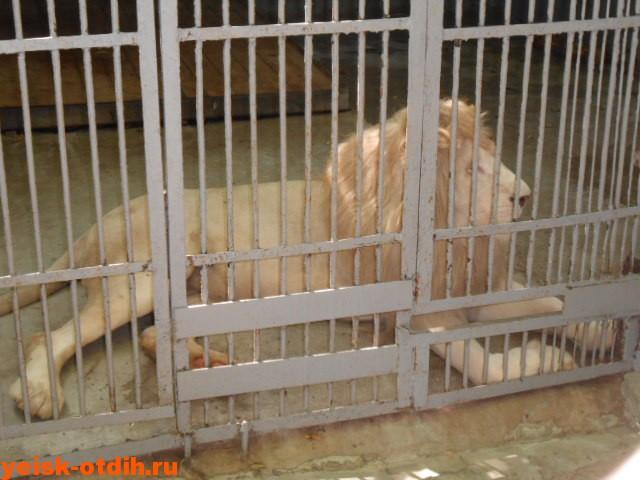 зоопарк ростов львы