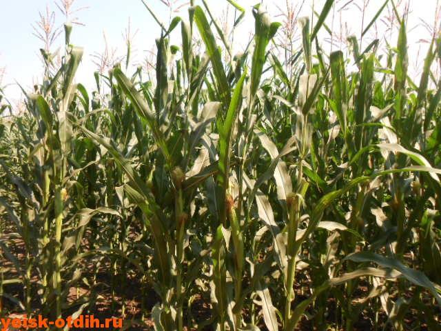 кукуруза ейск