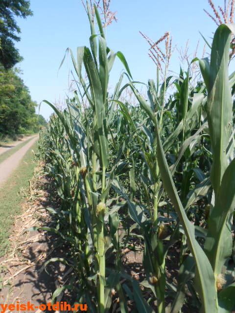 кукуруза краснодарский край