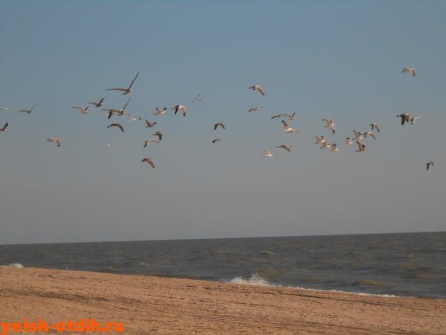 морские птицы на Азовском море должанка