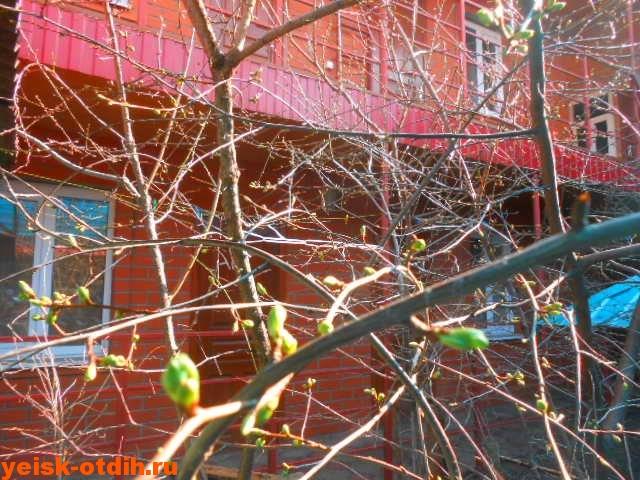 абрикос расцветает
