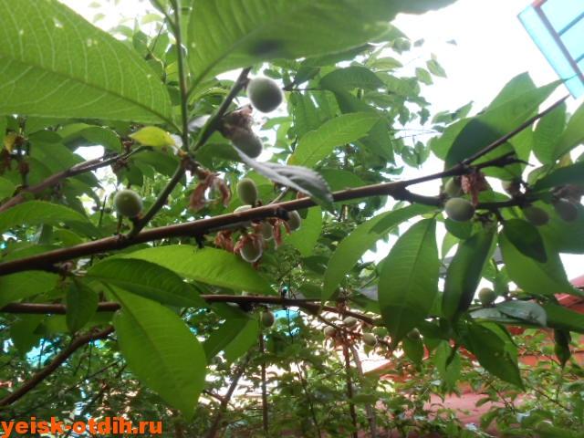 персики в ейске