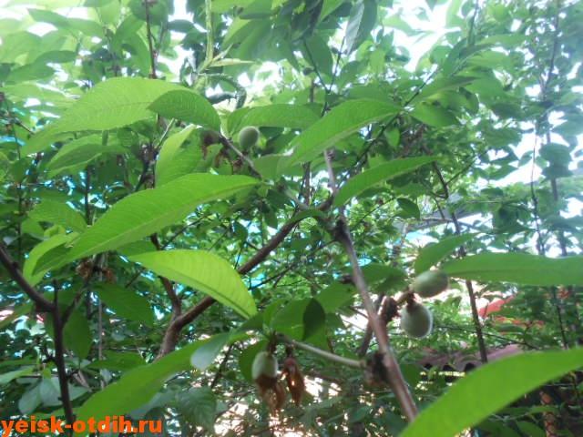 выращивание персиков
