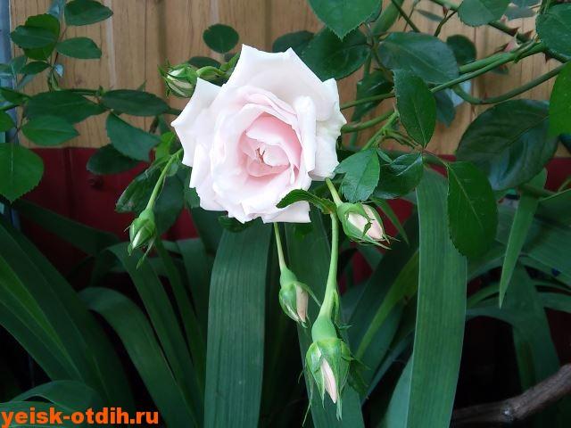 розы в ейске