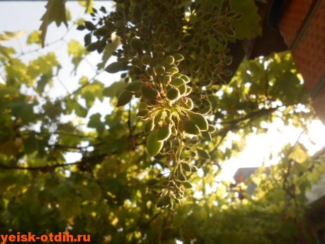 ранние сорта ейского винограда