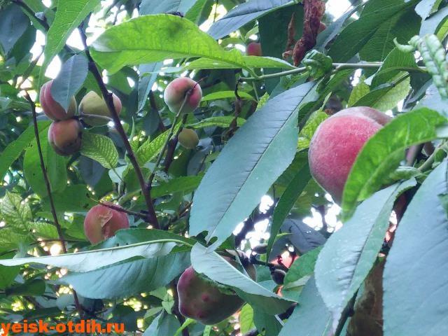 Персик персик и еще персик