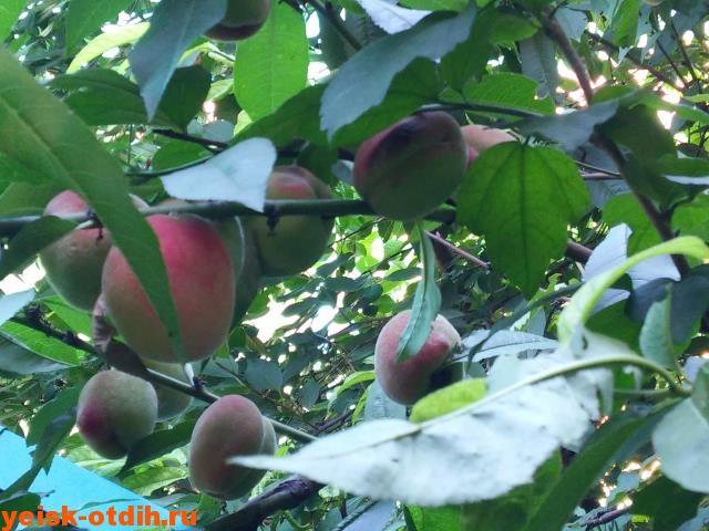 лучшие персики ейска