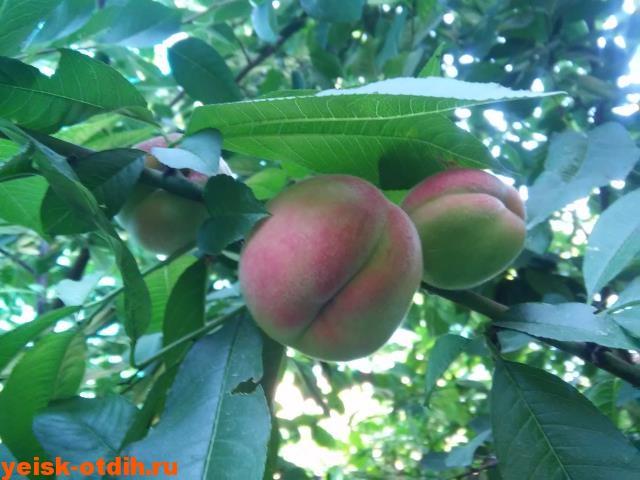 персик вкусный и полезный