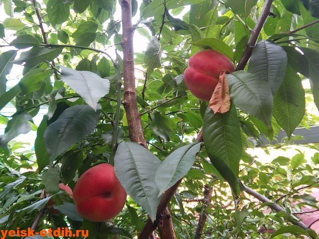 otdyih-v-eyske-persiki