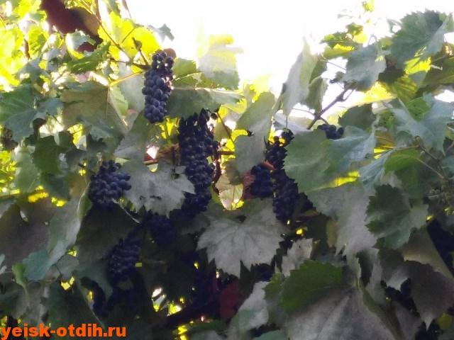 urozhay-vinograda-mini-gostinitsa-u-azovskogo-morya