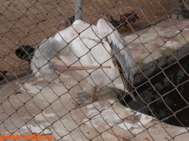 пеликаны в зоопарке каневская