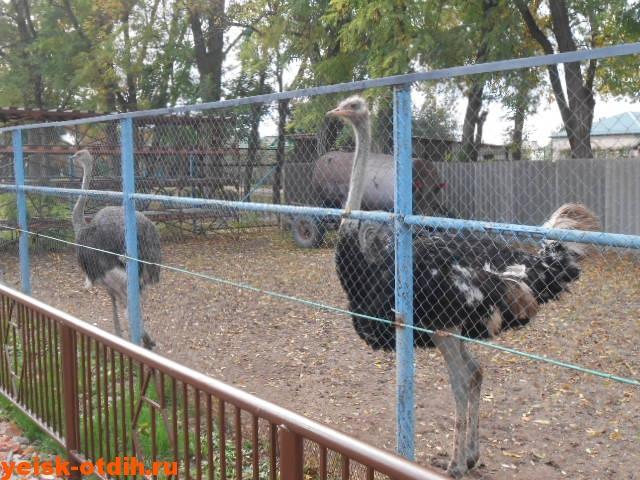 страусы в зооцентре каневская