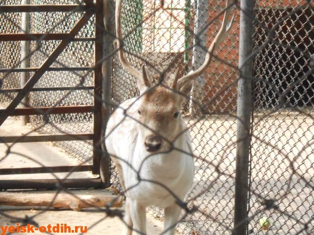олень в зоопарке станицы каневская