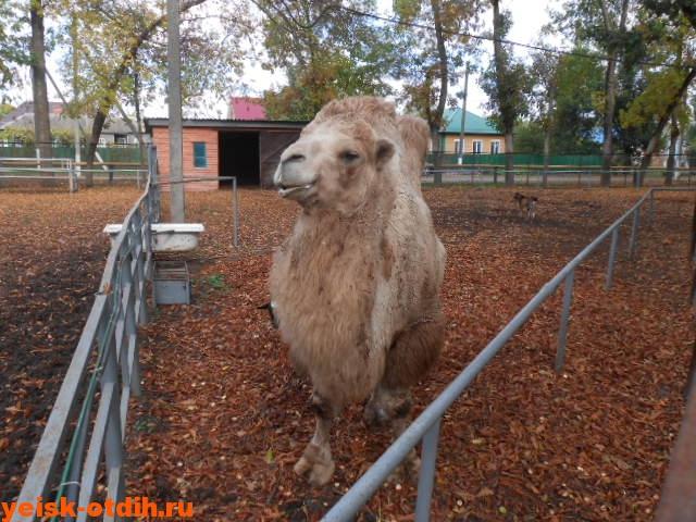 верблюды в станице каневская